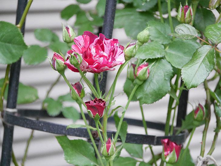 ニュー・イマジン(New Imagine)の2番花が咲いた。半ツルバラ。2020年-016.jpg