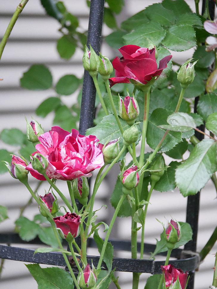 ニュー・イマジン(New Imagine)の2番花が咲いた。半ツルバラ。2020年-018.jpg