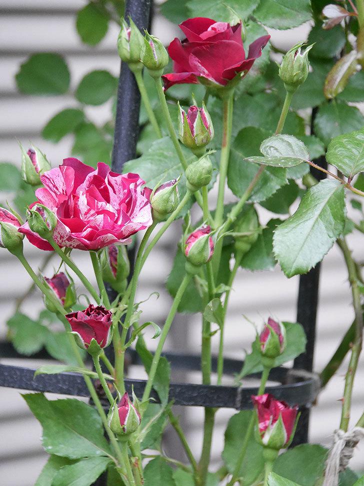 ニュー・イマジン(New Imagine)の2番花が咲いた。半ツルバラ。2020年-019.jpg