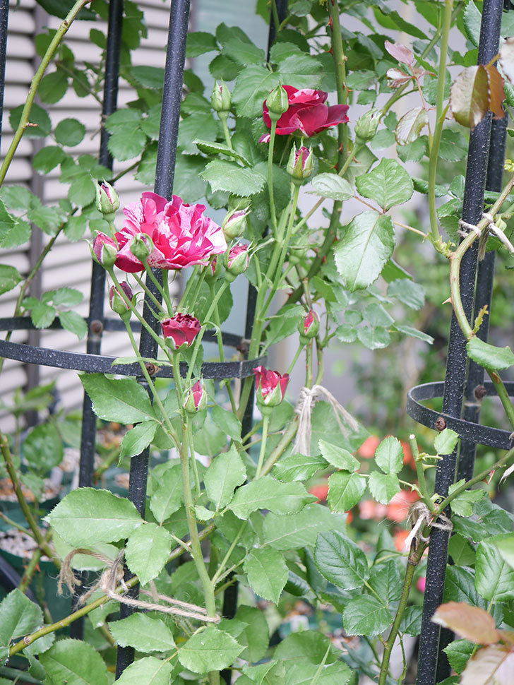 ニュー・イマジン(New Imagine)の2番花が咲いた。半ツルバラ。2020年-022.jpg