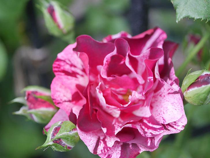 ニュー・イマジン(New Imagine)の2番花が咲いた。半ツルバラ。2020年-024.jpg