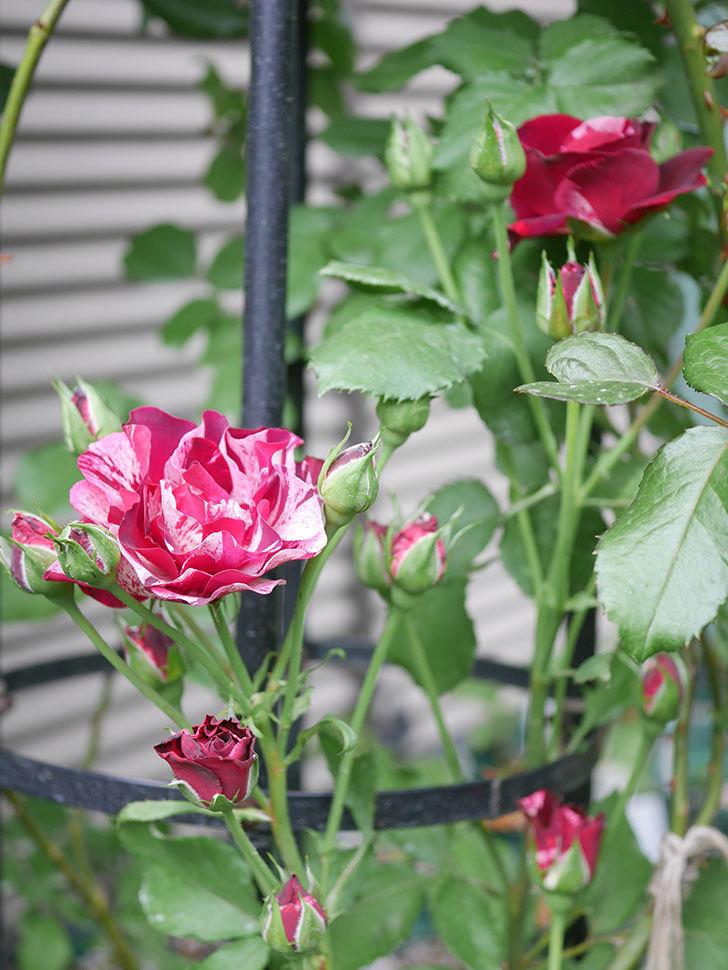 ニュー・イマジン(New Imagine)の2番花が咲いた。半ツルバラ。2020年-030.jpg