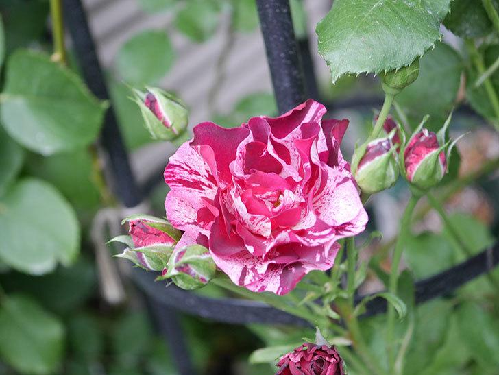 ニュー・イマジン(New Imagine)の2番花が咲いた。半ツルバラ。2020年-031.jpg
