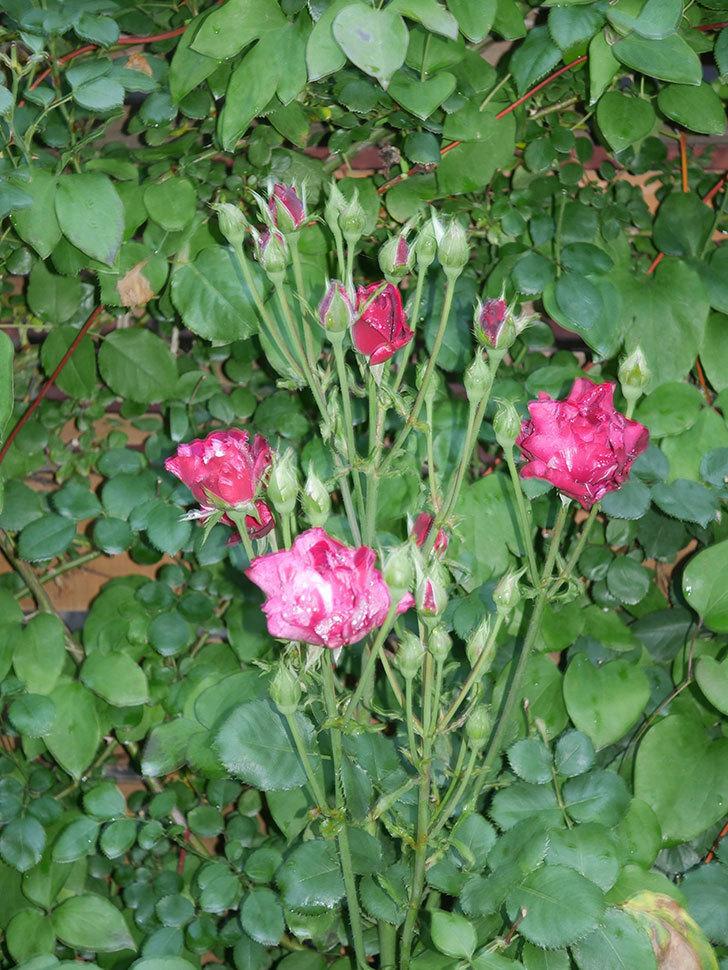 ニュー・イマジン(New Imagine)の2番花が咲いた。半ツルバラ。2021年-002.jpg