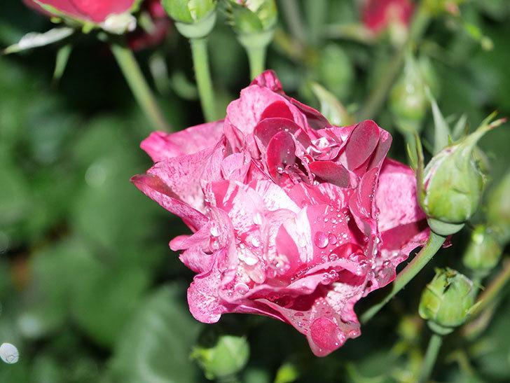 ニュー・イマジン(New Imagine)の2番花が咲いた。半ツルバラ。2021年-003.jpg