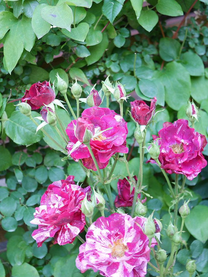 ニュー・イマジン(New Imagine)の2番花が咲いた。半ツルバラ。2021年-009.jpg