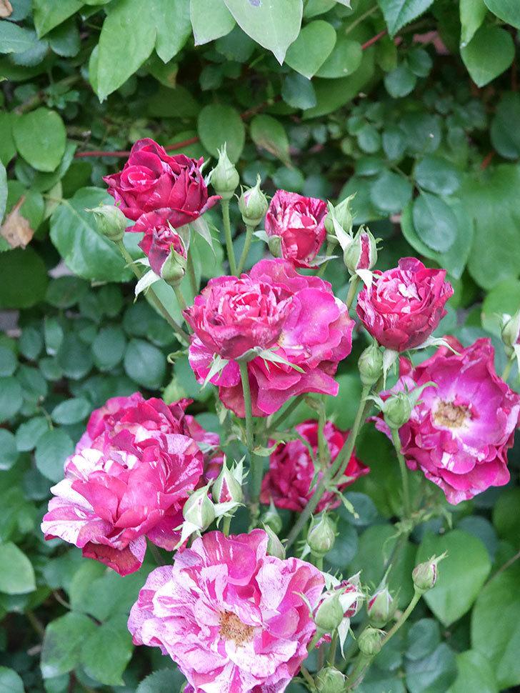 ニュー・イマジン(New Imagine)の2番花が咲いた。半ツルバラ。2021年-014.jpg