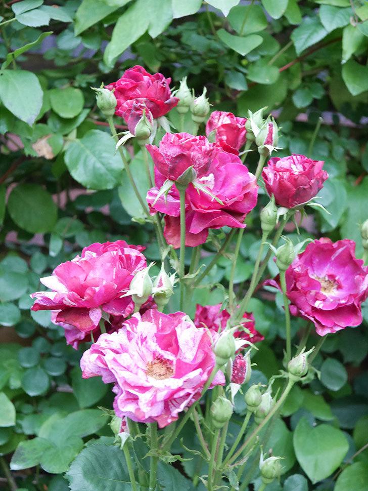 ニュー・イマジン(New Imagine)の2番花が咲いた。半ツルバラ。2021年-017.jpg