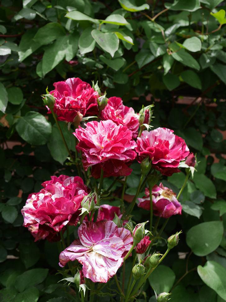 ニュー・イマジン(New Imagine)の2番花が咲いた。半ツルバラ。2021年-019.jpg