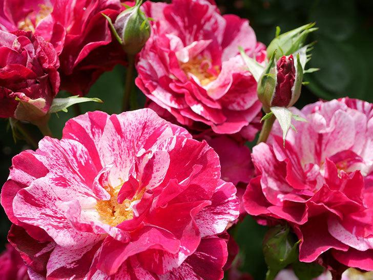 ニュー・イマジン(New Imagine)の2番花が咲いた。半ツルバラ。2021年-020.jpg