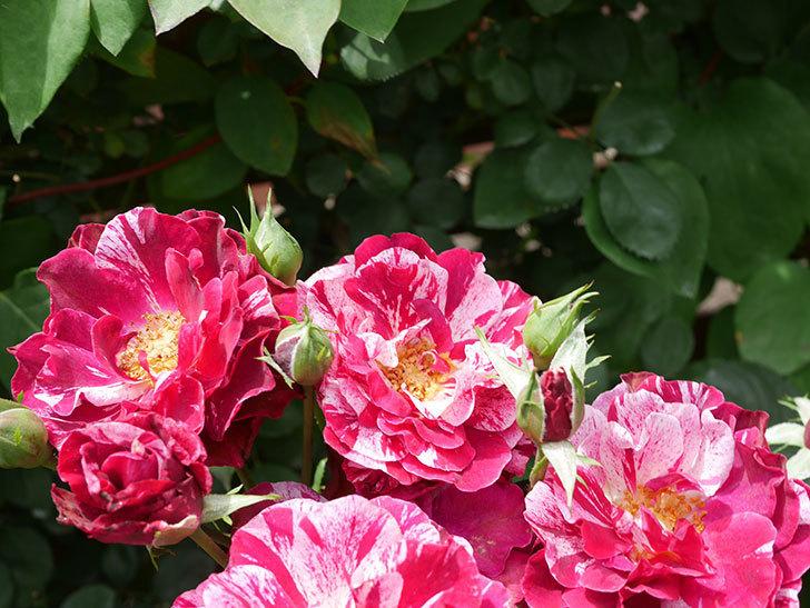 ニュー・イマジン(New Imagine)の2番花が咲いた。半ツルバラ。2021年-021.jpg