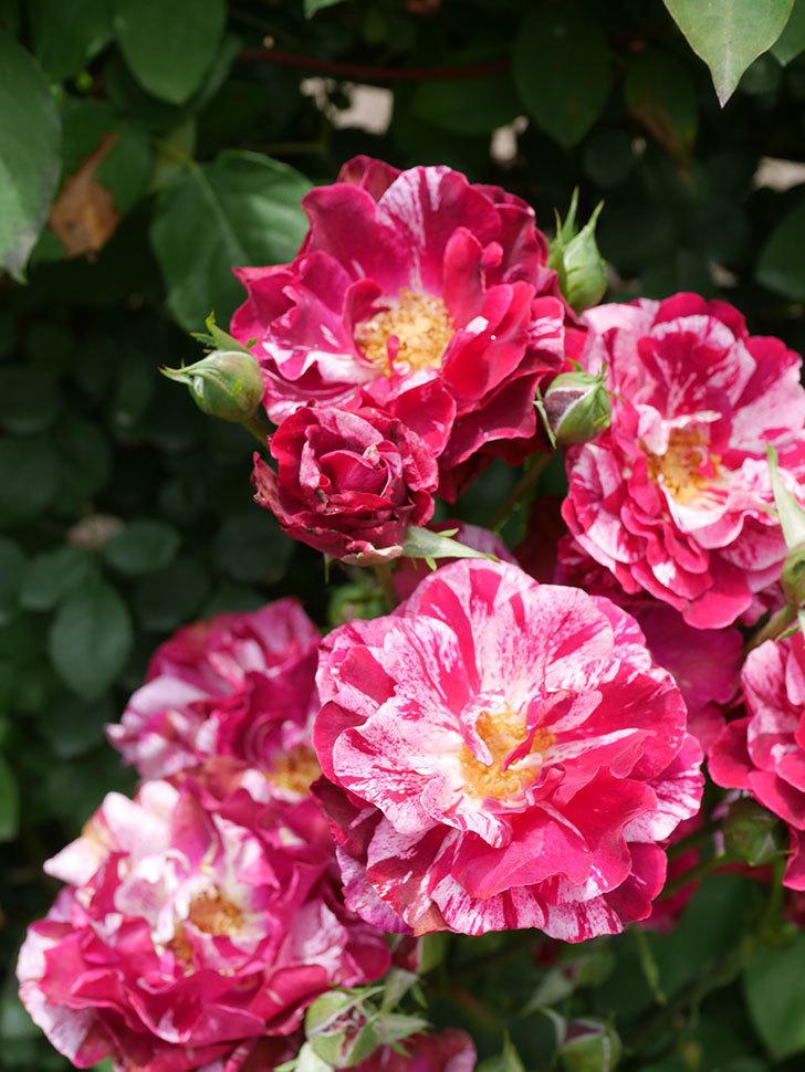 ニュー・イマジン(New Imagine)の2番花が咲いた。半ツルバラ。2021年-022.jpg