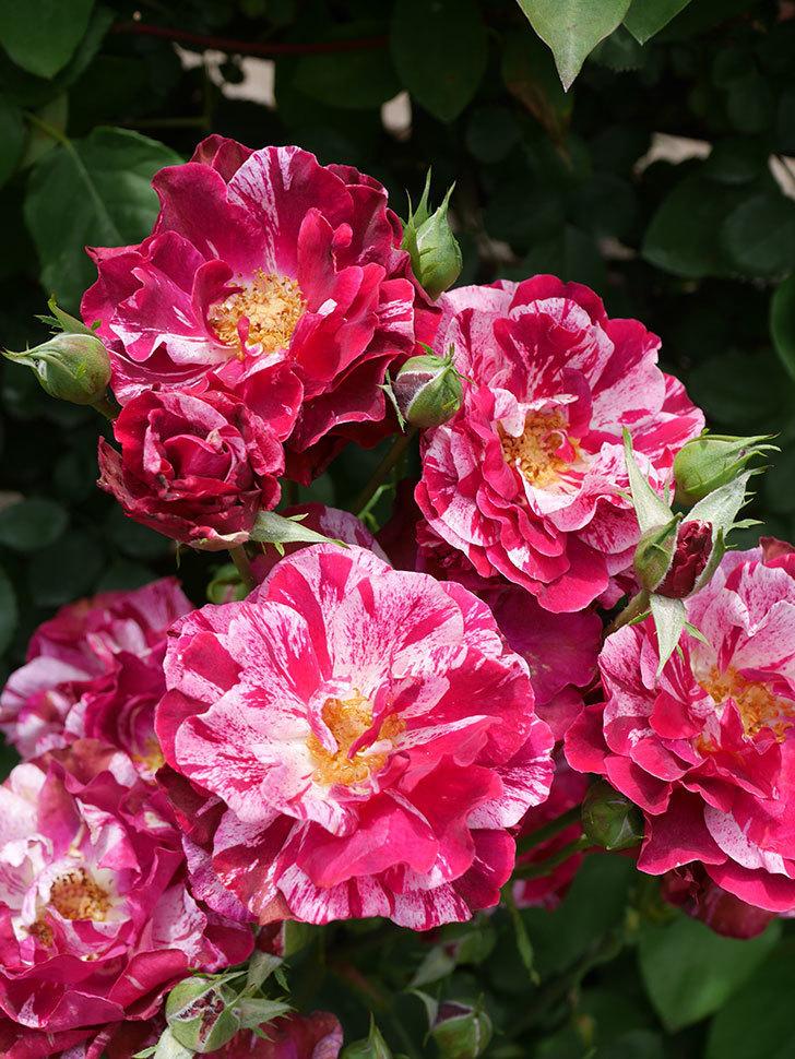 ニュー・イマジン(New Imagine)の2番花が咲いた。半ツルバラ。2021年-023.jpg