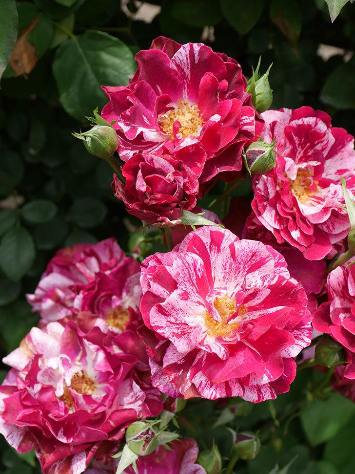 ニュー・イマジン(New Imagine)の2番花が咲いた。半ツルバラ。2021年-024.jpg