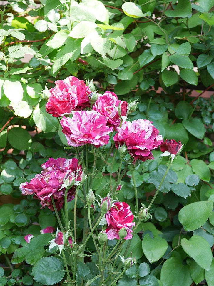 ニュー・イマジン(New Imagine)の2番花が咲いた。半ツルバラ。2021年-026.jpg