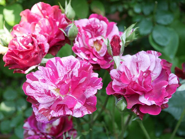 ニュー・イマジン(New Imagine)の2番花が咲いた。半ツルバラ。2021年-027.jpg