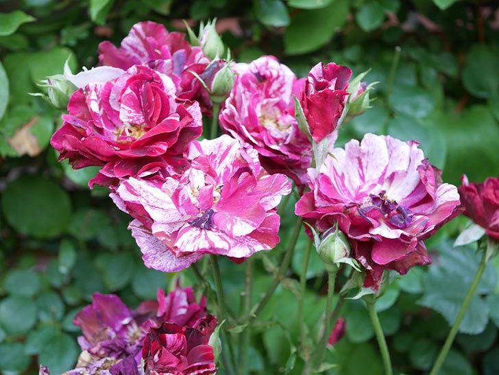 ニュー・イマジン(New Imagine)の2番花が咲いた。半ツルバラ。2021年-029.jpg