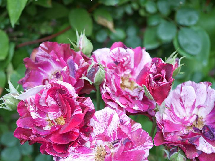 ニュー・イマジン(New Imagine)の2番花が咲いた。半ツルバラ。2021年-030.jpg