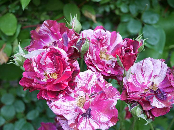 ニュー・イマジン(New Imagine)の2番花が咲いた。半ツルバラ。2021年-031.jpg