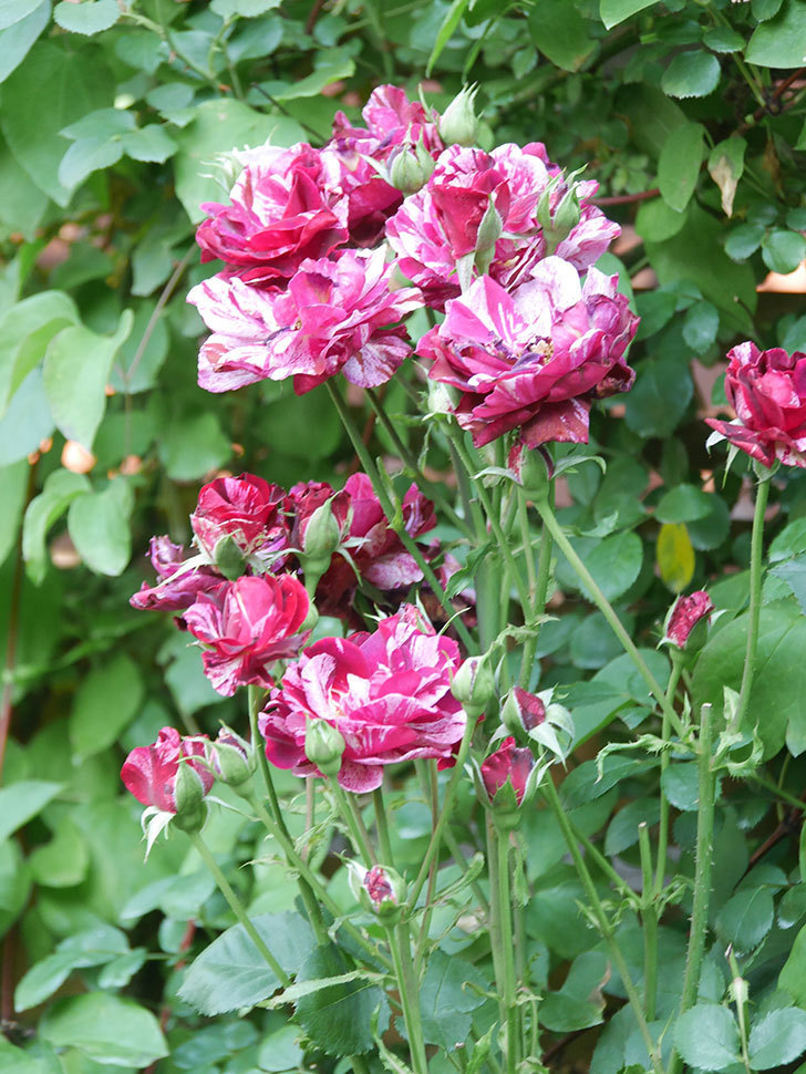 ニュー・イマジン(New Imagine)の2番花が咲いた。半ツルバラ。2021年-035.jpg