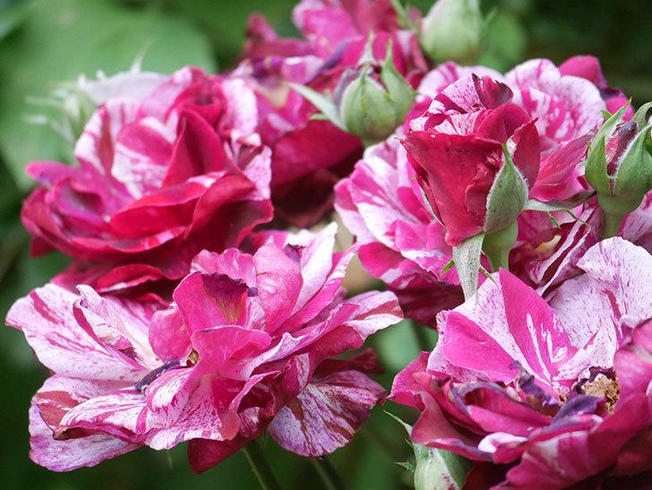 ニュー・イマジン(New Imagine)の2番花が咲いた。半ツルバラ。2021年-040.jpg