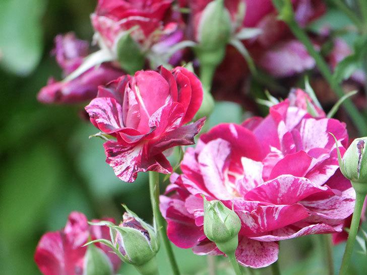 ニュー・イマジン(New Imagine)の2番花が咲いた。半ツルバラ。2021年-041.jpg