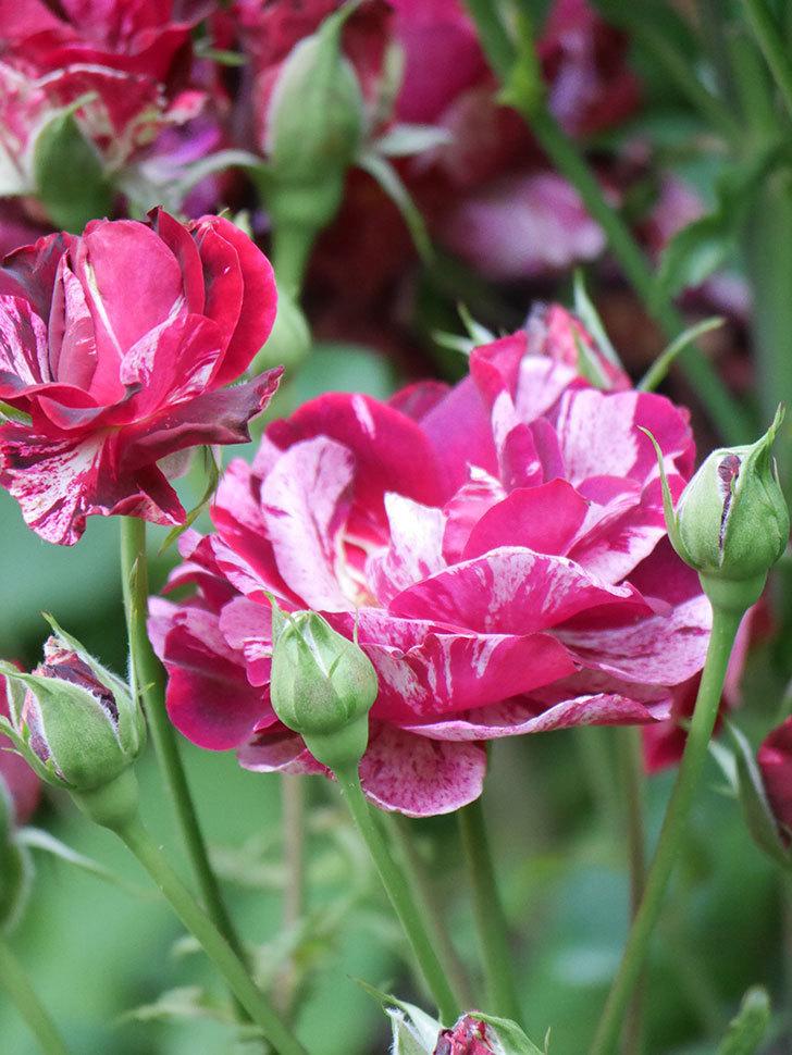 ニュー・イマジン(New Imagine)の2番花が咲いた。半ツルバラ。2021年-043.jpg