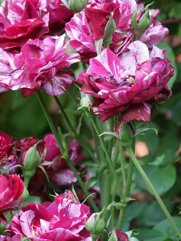 ニュー・イマジン(New Imagine)の2番花が咲いた。半ツルバラ。2021年-046.jpg