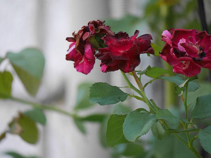 ニュー・イマジン(New Imagine)の夏花がまた咲いた。半ツルバラ。2020年-001.jpg