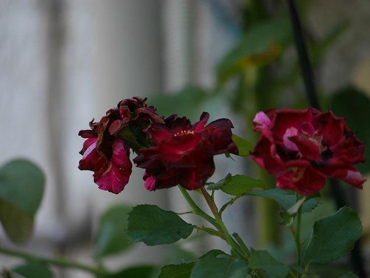 ニュー・イマジン(New Imagine)の夏花がまた咲いた。半ツルバラ。2020年-002.jpg