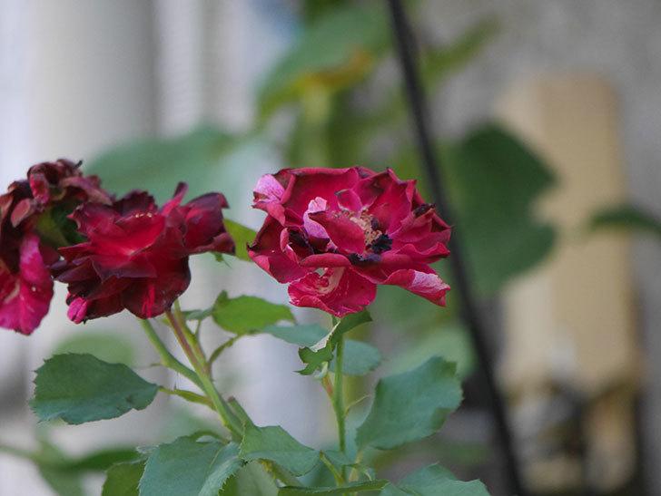 ニュー・イマジン(New Imagine)の夏花がまた咲いた。半ツルバラ。2020年-003.jpg