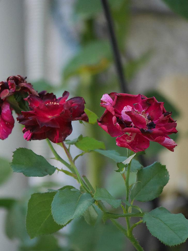 ニュー・イマジン(New Imagine)の夏花がまた咲いた。半ツルバラ。2020年-004.jpg