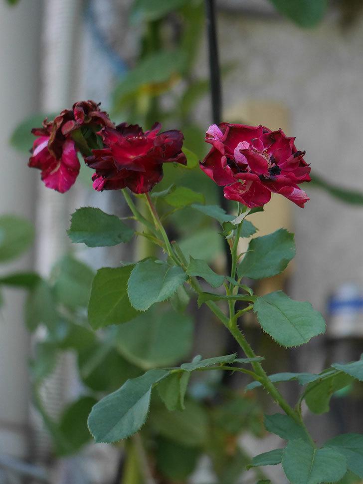 ニュー・イマジン(New Imagine)の夏花がまた咲いた。半ツルバラ。2020年-005.jpg