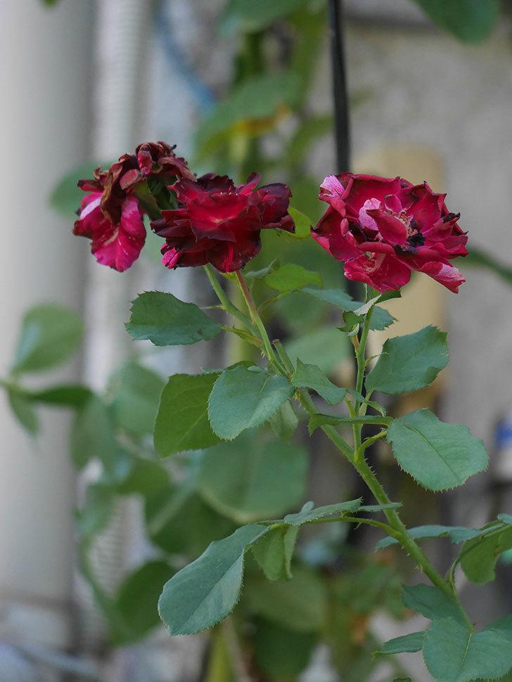 ニュー・イマジン(New Imagine)の夏花がまた咲いた。半ツルバラ。2020年-006.jpg