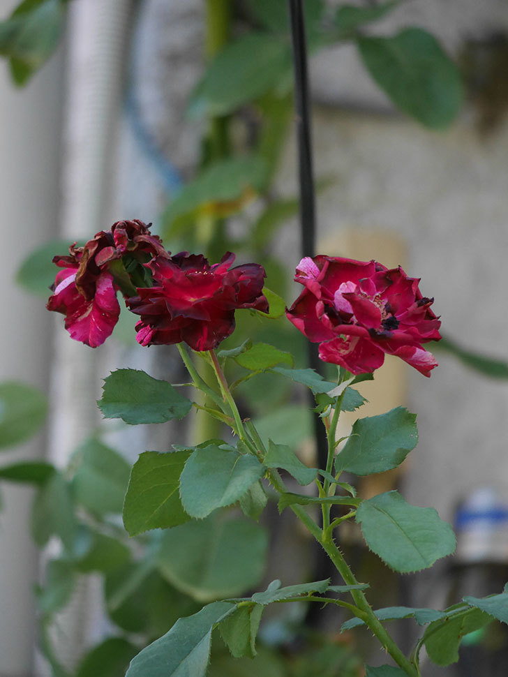 ニュー・イマジン(New Imagine)の夏花がまた咲いた。半ツルバラ。2020年-007.jpg