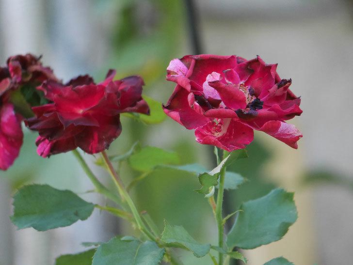 ニュー・イマジン(New Imagine)の夏花がまた咲いた。半ツルバラ。2020年-008.jpg