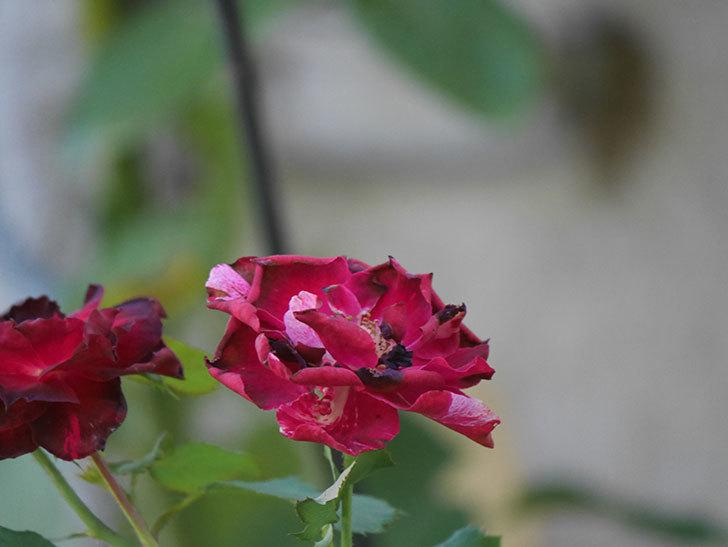 ニュー・イマジン(New Imagine)の夏花がまた咲いた。半ツルバラ。2020年-010.jpg