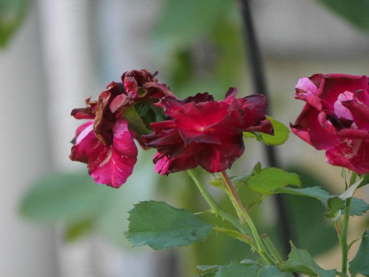 ニュー・イマジン(New Imagine)の夏花がまた咲いた。半ツルバラ。2020年-012.jpg