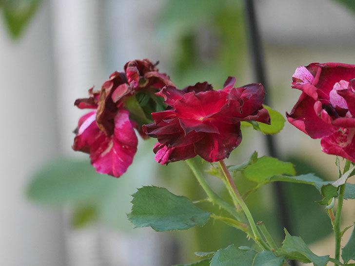 ニュー・イマジン(New Imagine)の夏花がまた咲いた。半ツルバラ。2020年-013.jpg