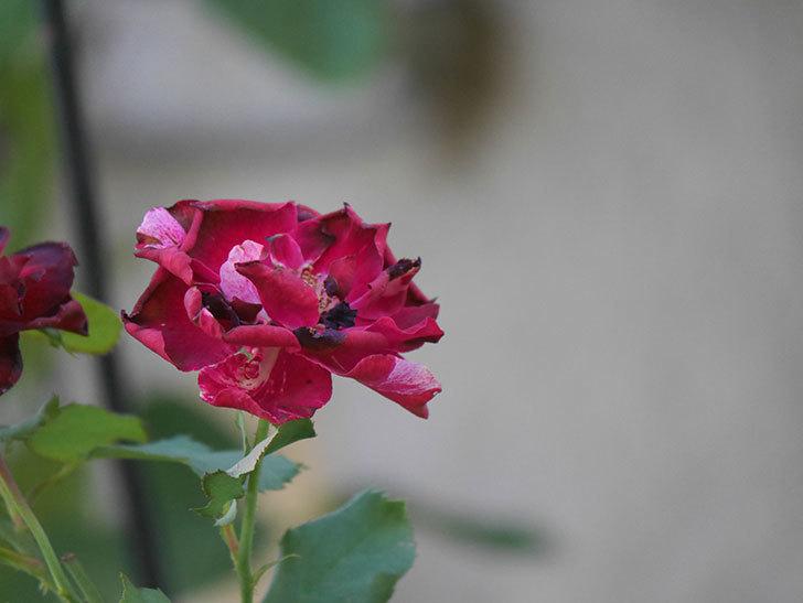 ニュー・イマジン(New Imagine)の夏花がまた咲いた。半ツルバラ。2020年-015.jpg