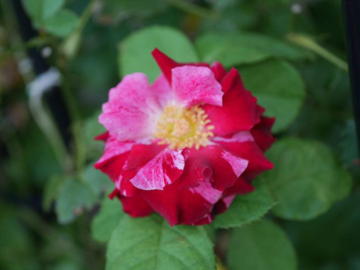 ニュー・イマジン(New Imagine)の夏花が咲いた。半ツルバラ。2020年-002.jpg