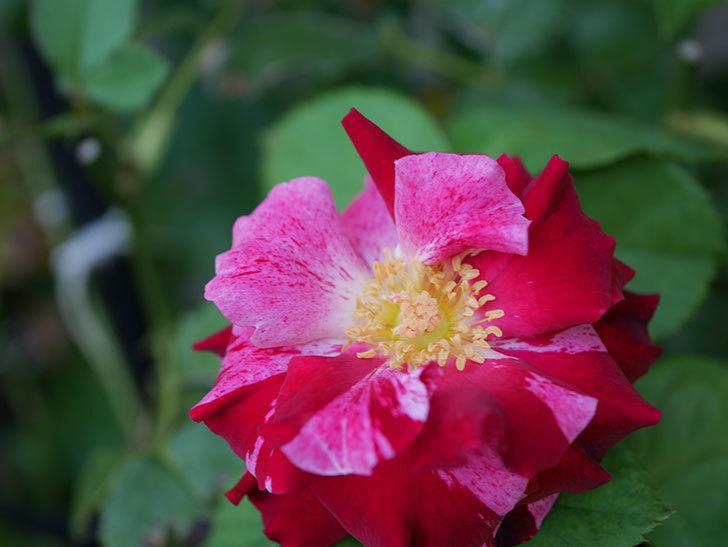 ニュー・イマジン(New Imagine)の夏花が咲いた。半ツルバラ。2020年-003.jpg