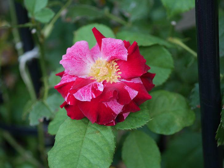 ニュー・イマジン(New Imagine)の夏花が咲いた。半ツルバラ。2020年-004.jpg