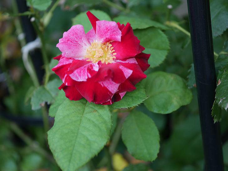ニュー・イマジン(New Imagine)の夏花が咲いた。半ツルバラ。2020年-005.jpg