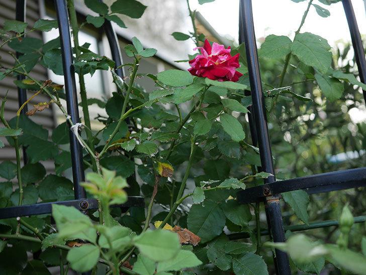 ニュー・イマジン(New Imagine)の夏花が咲いた。半ツルバラ。2020年-006.jpg