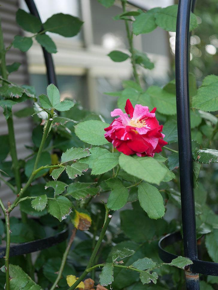 ニュー・イマジン(New Imagine)の夏花が咲いた。半ツルバラ。2020年-007.jpg