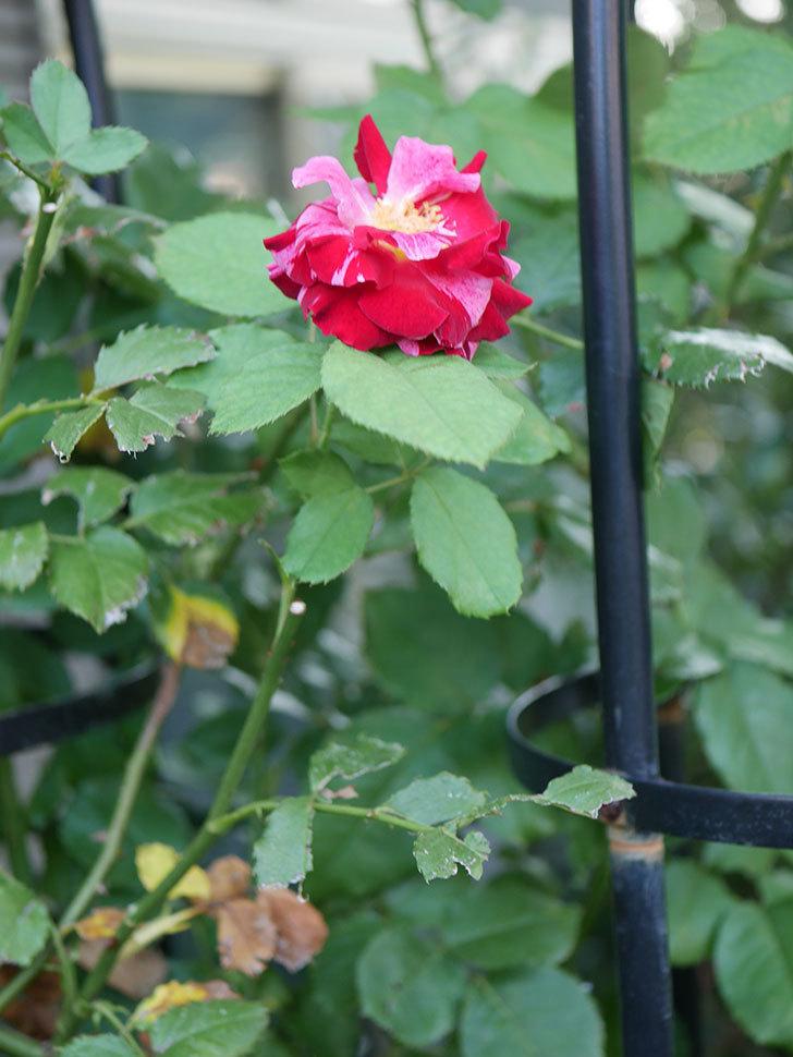 ニュー・イマジン(New Imagine)の夏花が咲いた。半ツルバラ。2020年-008.jpg