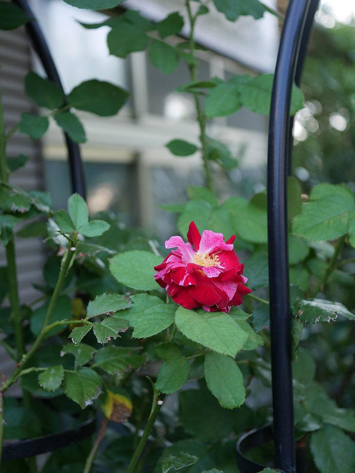 ニュー・イマジン(New Imagine)の夏花が咲いた。半ツルバラ。2020年-009.jpg
