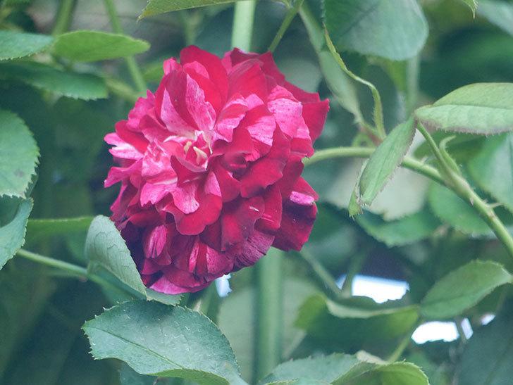 ニュー・イマジン(New Imagine)の夏花が咲いた。半ツルバラ。2021年-001.jpg