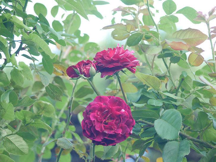 ニュー・イマジン(New Imagine)の夏花が咲いた。半ツルバラ。2021年-003.jpg